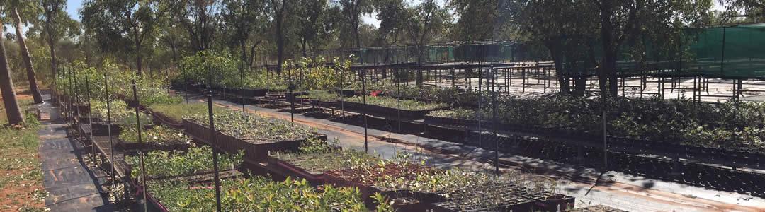 Mamabulanjin has established - Skuthorpe Nursery