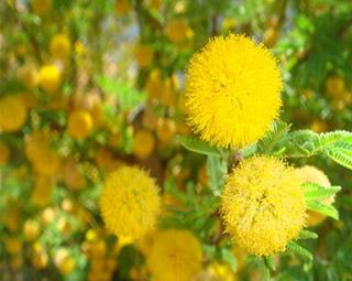 Acacia Argyraea