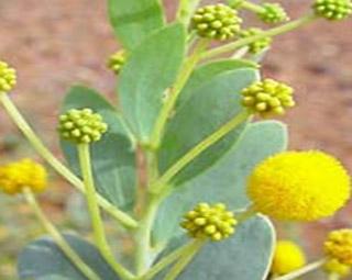 Acacia Auriculiformis